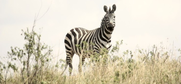 A Zebra called Debra!